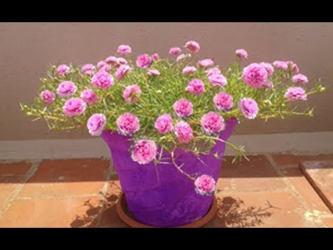 How to grow Light Pink-Table Rose-Moss Rose-Portulaca Grandiflora-Japanese rose..