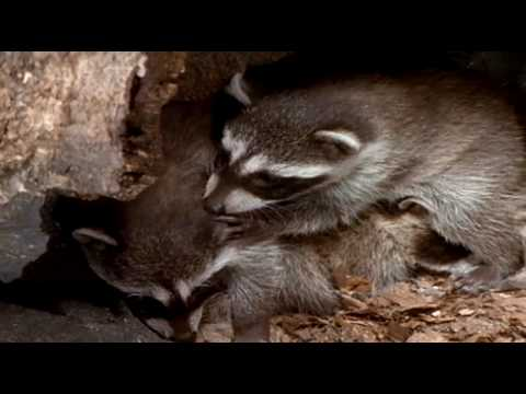 Raccoon Mom and young Born to be Wild