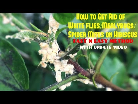 How to Get Rid of White flies/Mealybugs/Spider Mites on Hibiscus (With Updates)