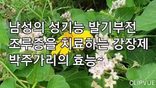 남성의 성기능 발기부전 조루증을 치료하는 강장제 박주가리의 효능~