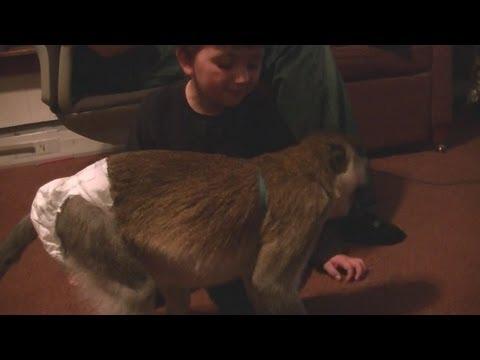 House Trained Pet Monkey