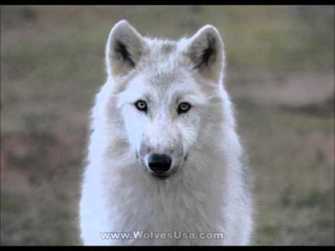 Wolf Dog ~ Puppies for Sale, by Pets4You.com