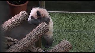 First Panda Cub Born in France Named Yuan Meng
