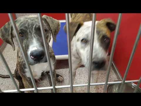 Pima Animal Care Center Doggies Adoptable - Animal#A633487&A633486 Twix&Bungee 10 Mo.Old 5-6-18