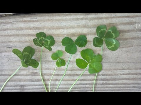 How to Find A Four-Leaf Clover! Free St. Patrick's Day Gifts!