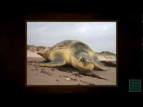 Sea Turtles in Trouble