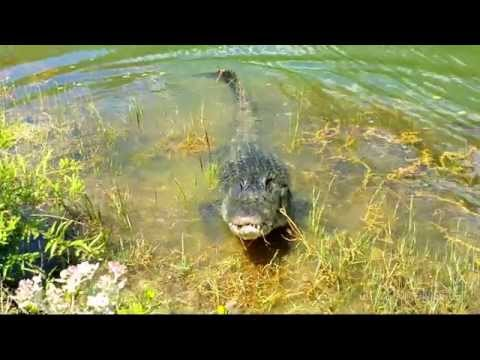 Everglades Alligator Vs. Freshwater Florida Gar.