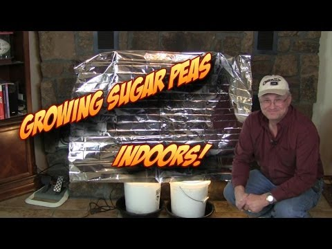 Starting & Growing Sugar Peas Indoors for Bigger Harvests