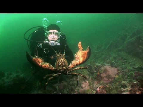 Northern Lobsters of Maine | JONATHAN BIRD'S BLUE WORLD