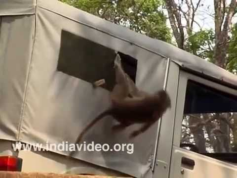 Monkey Troupe In Action - Destroying Everything In Its Path