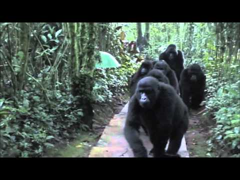 Touched by a Wild Mountain Gorilla (Non HD version)