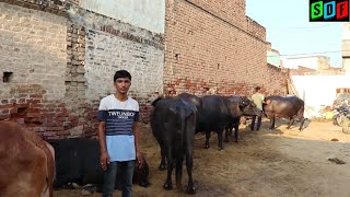 Murrah Buffalo    Show Quality    Milk - 24 Kg    Village - Rajli