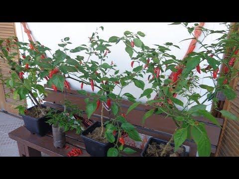 Qual o melhor vaso para plantar pimenta ?