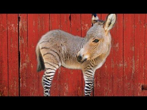 THE ZONKEY - HYBRID ANIMALS