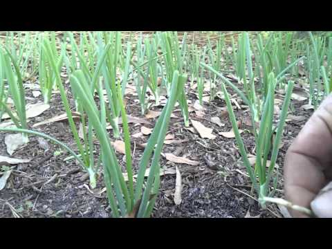 How to prune your onions
