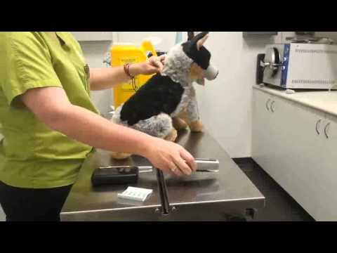 BNIT Cert IV in Veterinary Nursing Microchipping