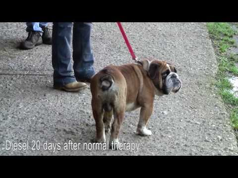Blood Stem Cells - bulldog with ataxia