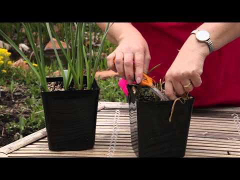 How to Cut Back Potted Tulips : Grow Guru
