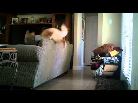Dog Jumps Over Couch
