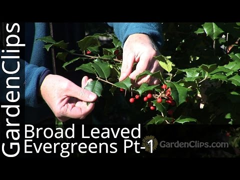 Broad Leaved Evergreens - Part 1 - Winter care for Holly, Oregon Grape Holly, Southern Magnolia