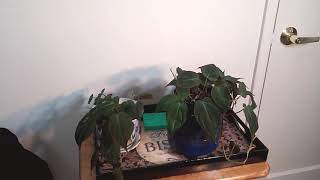 VELVET LEAF PHILODENDRON (PHILODENDRON MICANS) ❤
