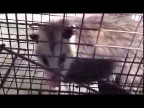 How To Catch Possums and Raccoons Safely