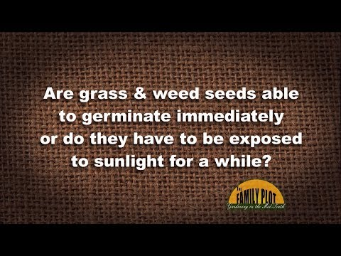 Q&A – Are grass and weed seeds able to germinate immediately or do they need sunlight?