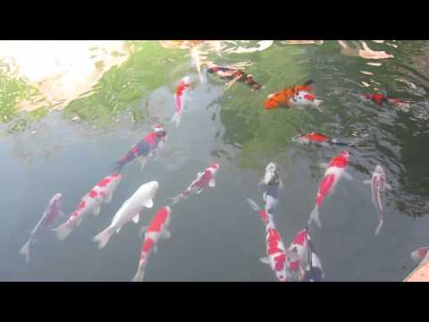 Introducing new koi to our pond