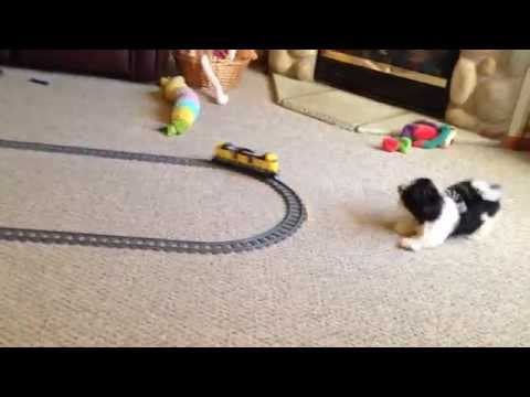 How to keep your puppy busy - Electric Train