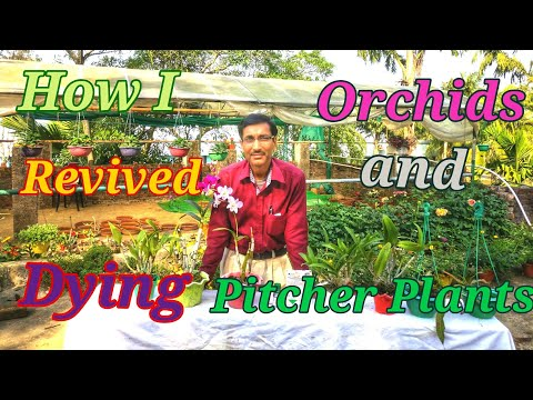 How I Revived my Dying Orchids and Pitcher Plants.