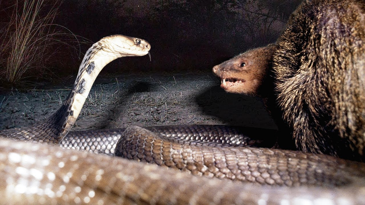 Mongoose vs Cobra! The Best Moments of the Endless War