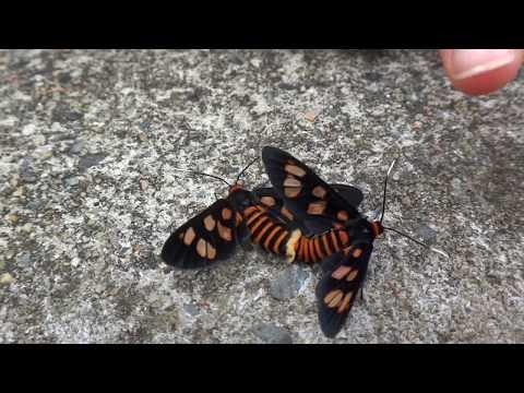 AwA Tiger Moths mating