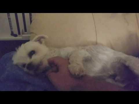 Cute Maltese dog sleeping