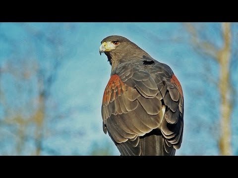 Falconry with Four Harris's Hawks