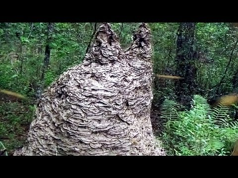 MASSIVE Yellow Jacket wasp nest in Florida