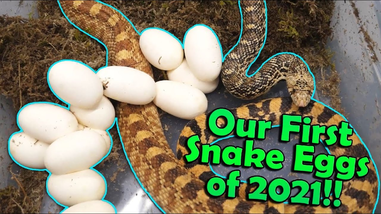 The First Bullsnake Eggs of the Year!! Stripey's Clutch!