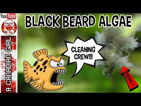 BLACK BEARD ALGAE IN YOUR AQUARIUM AND HOW TO REMOVE IT EP4