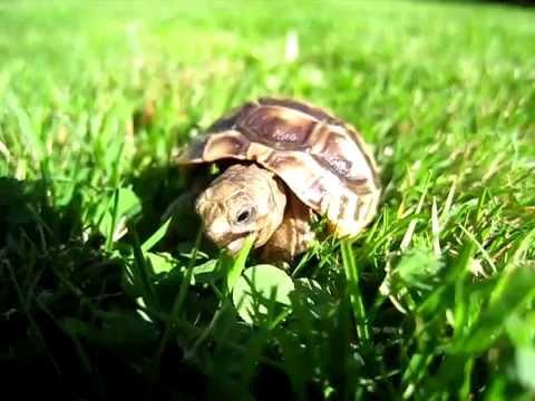 Baby Tortoise Eating Clover