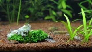 Freshwater Shrimps Aquarium