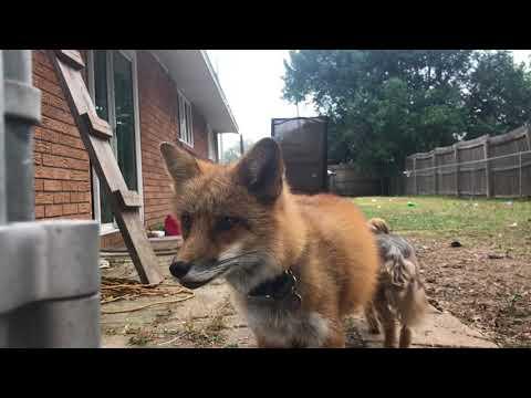 Fox Barks At Neighbors
