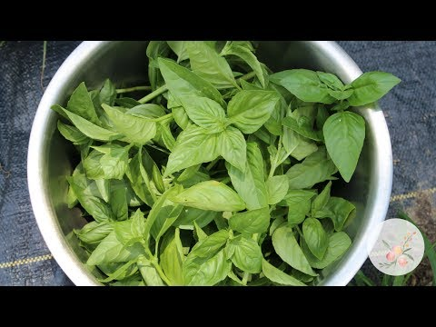Drying Basil and Mint for Bath Soaks Gardening for Beginners Cut Flower Farm Growing Herbs from Seed