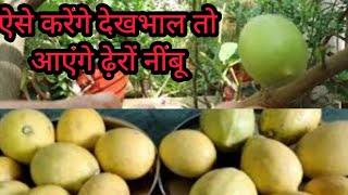 ऐसा करेगें तो नींबू में आएंगे ढेरों फल // Lemon me keya fertilizer de ? Fruits kaise adhik milega ?