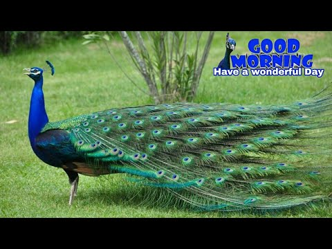 Good Morning Peacock Images - Beautiful WhatsApp video|