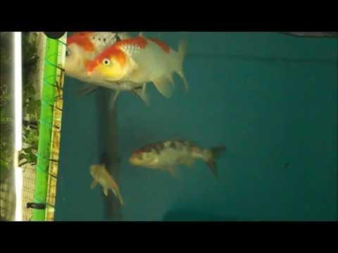 KOI SPAWNING EGGS IN FISH TANK