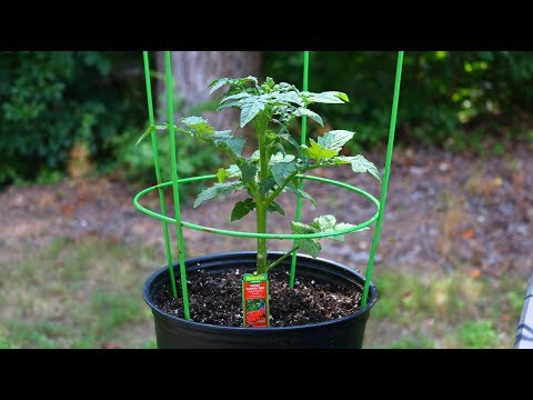 Growing Tomatoes In A Pot | Transplanting Tomatoes | Pest Disease & Fungal Prevention for New Plants
