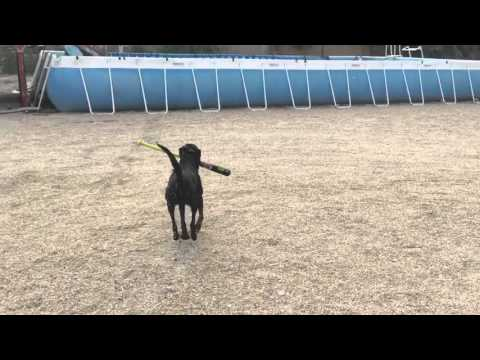 Teaching a dog to hit a ball with a bat.