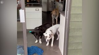 Dogs concerned when they realize they have to go out in the rain