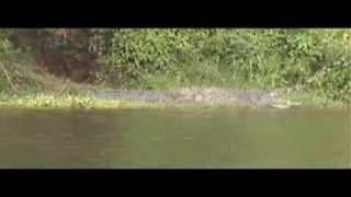 Supersized Nile Crocodile
