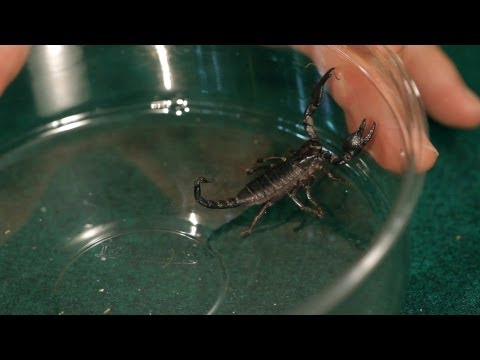 9 Red Claw Scorpion Facts & Care Tips | Pet Tarantulas