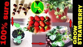 How to grow Strawberries plant from fruits at home easy steps
